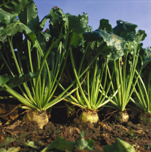 Sugarbeet_on_the_field_1